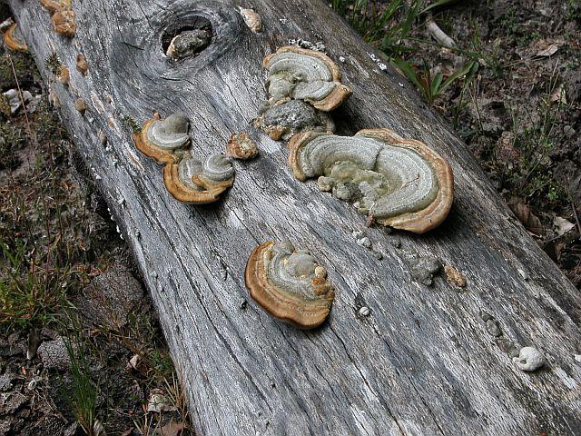 La formation des sols - Champignon qui pousse sur les arbres ...